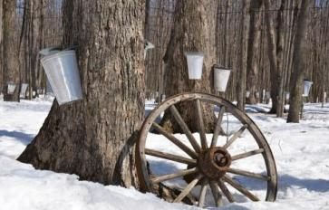Living off the Grid: Syrup Season - Tree Tapping 101