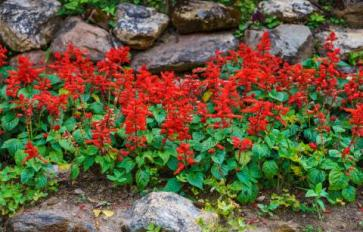 Your Guide To Summer Flowers: Scarlet Sage