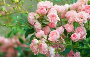 Your Guide To Summer Flowers: Roses